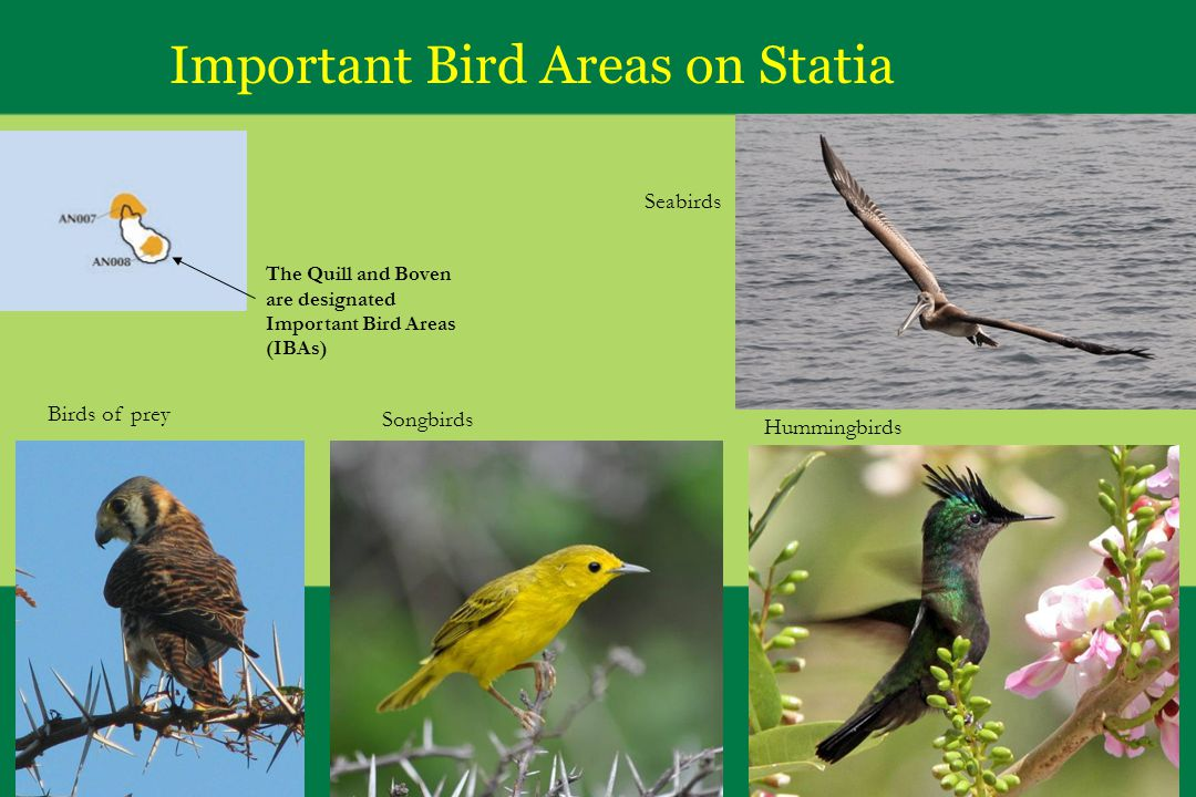 Important Bird Areas on Statia The Quill and Boven are designated Important Bird Areas (IBAs) Birds of prey Songbirds Hummingbirds Seabirds