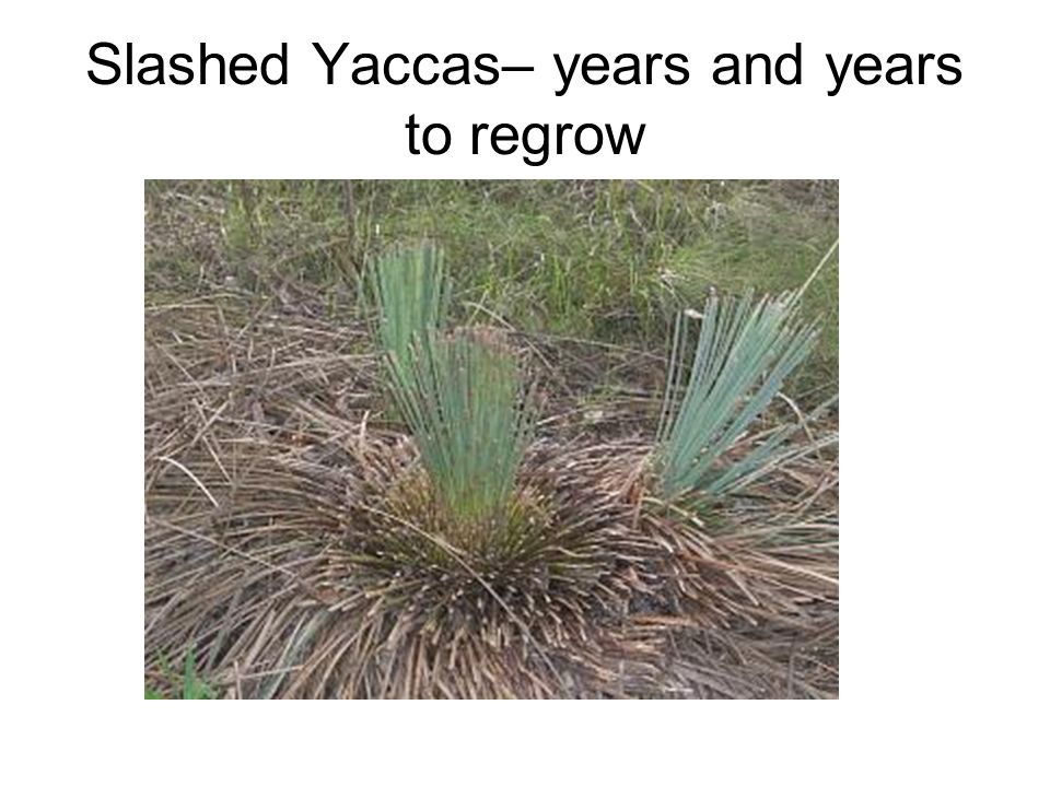 Slashed Yaccas– years and years to regrow
