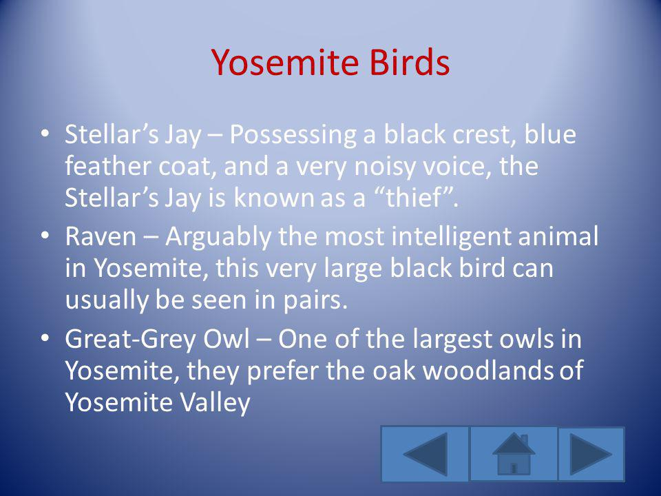 Yosemite Birds Stellars Jay – Possessing a black crest, blue feather coat, and a very noisy voice, the Stellars Jay is known as a thief.