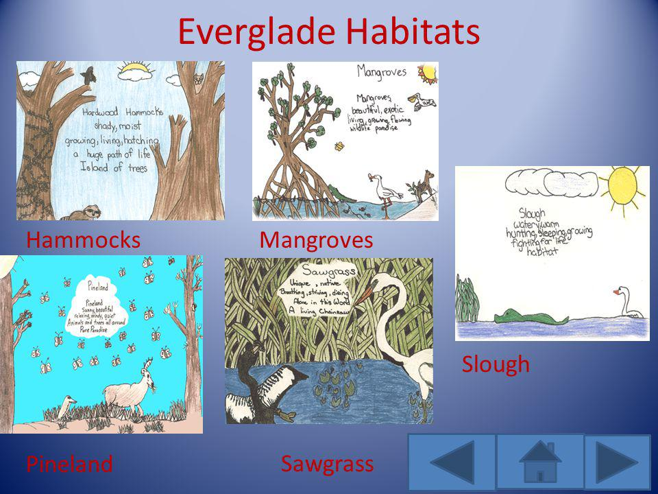 Everglade Habitats HammocksMangroves Pineland Sawgrass Slough