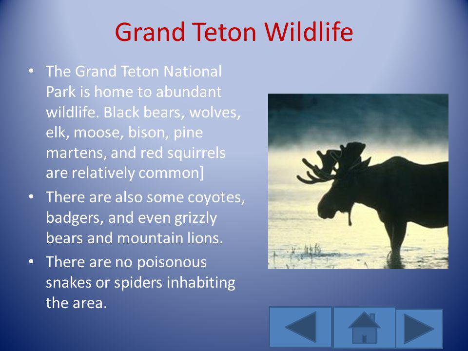 Grand Teton Wildlife The Grand Teton National Park is home to abundant wildlife. Black bears, wolves, elk, moose, bison, pine martens, and red squirre