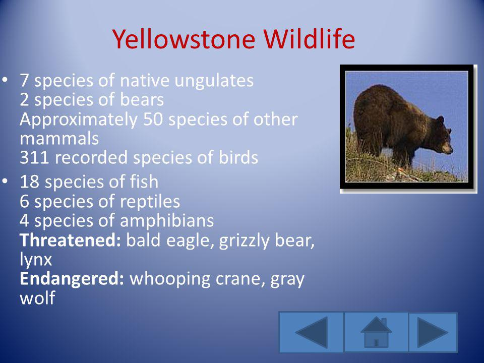 Yellowstone Wildlife 7 species of native ungulates 2 species of bears Approximately 50 species of other mammals 311 recorded species of birds 18 species of fish 6 species of reptiles 4 species of amphibians Threatened: bald eagle, grizzly bear, lynx Endangered: whooping crane, gray wolf