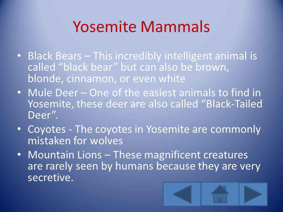 Yosemite Mammals Black Bears – This incredibly intelligent animal is called black bear but can also be brown, blonde, cinnamon, or even white Mule Deer – One of the easiest animals to find in Yosemite, these deer are also called Black-Tailed Deer.