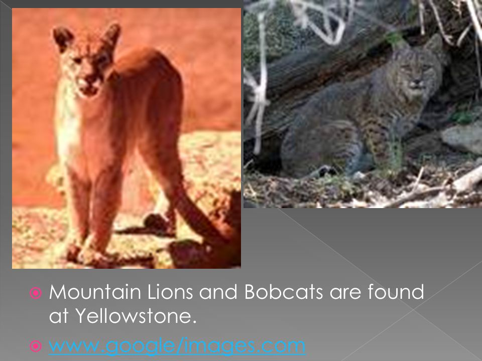 Mountain Lions and Bobcats are found at Yellowstone. www.google/images.com