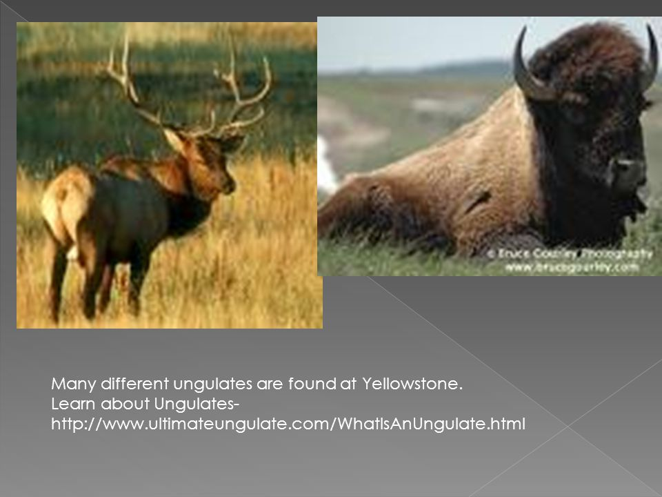 Many different ungulates are found at Yellowstone. Learn about Ungulates- http://www.ultimateungulate.com/WhatIsAnUngulate.html