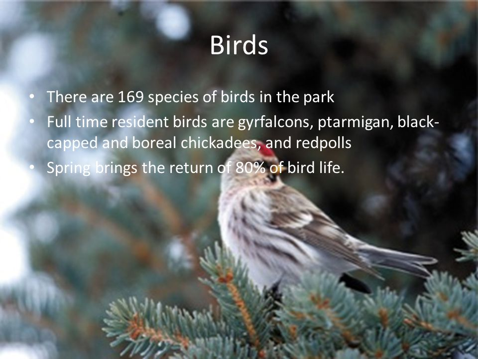 Birds There are 169 species of birds in the park Full time resident birds are gyrfalcons, ptarmigan, black- capped and boreal chickadees, and redpolls