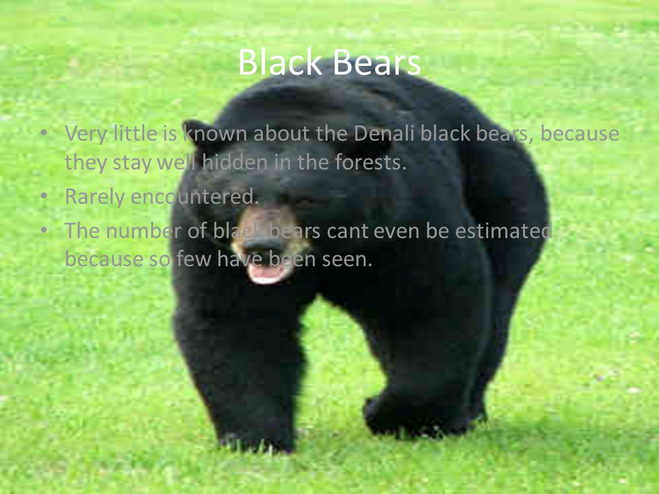Black Bears Very little is known about the Denali black bears, because they stay well hidden in the forests. Rarely encountered. The number of black b