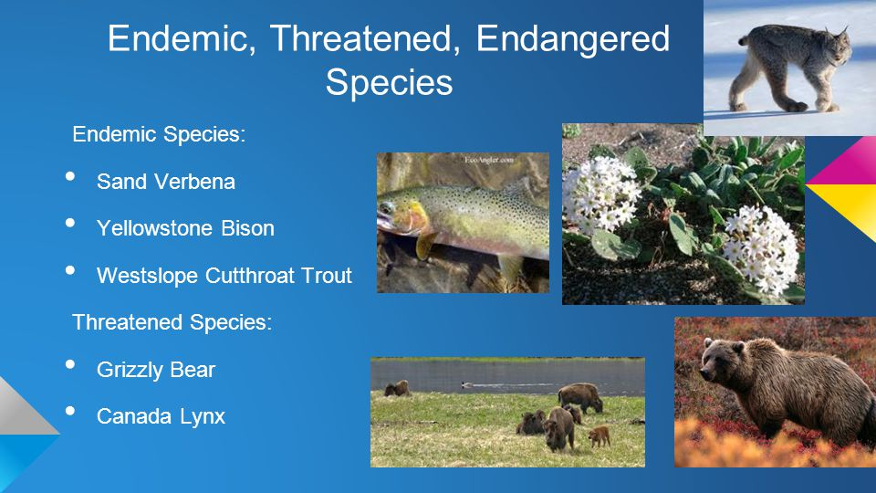 Endemic, Threatened, Endangered Species Endemic Species: Sand Verbena Yellowstone Bison Westslope Cutthroat Trout Threatened Species: Grizzly Bear Canada Lynx