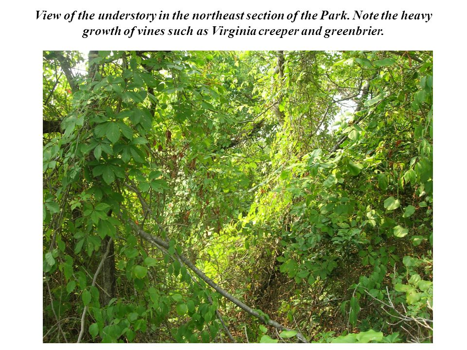 View of the understory in the northeast section of the Park.