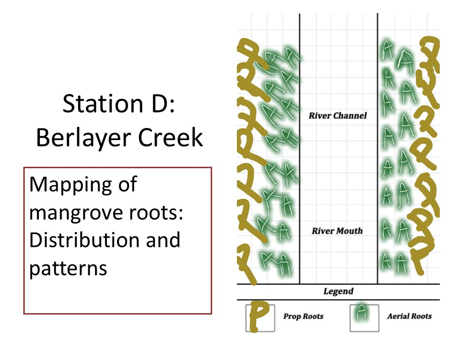 Station D: Berlayer Creek Mapping of mangrove roots: Distribution and patterns