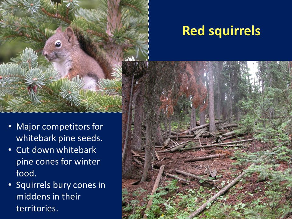 Red squirrels Major competitors for whitebark pine seeds.