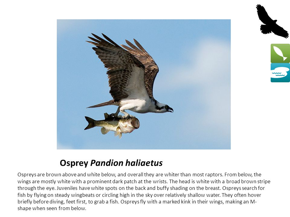 Osprey Pandion haliaetus Ospreys are brown above and white below, and overall they are whiter than most raptors.