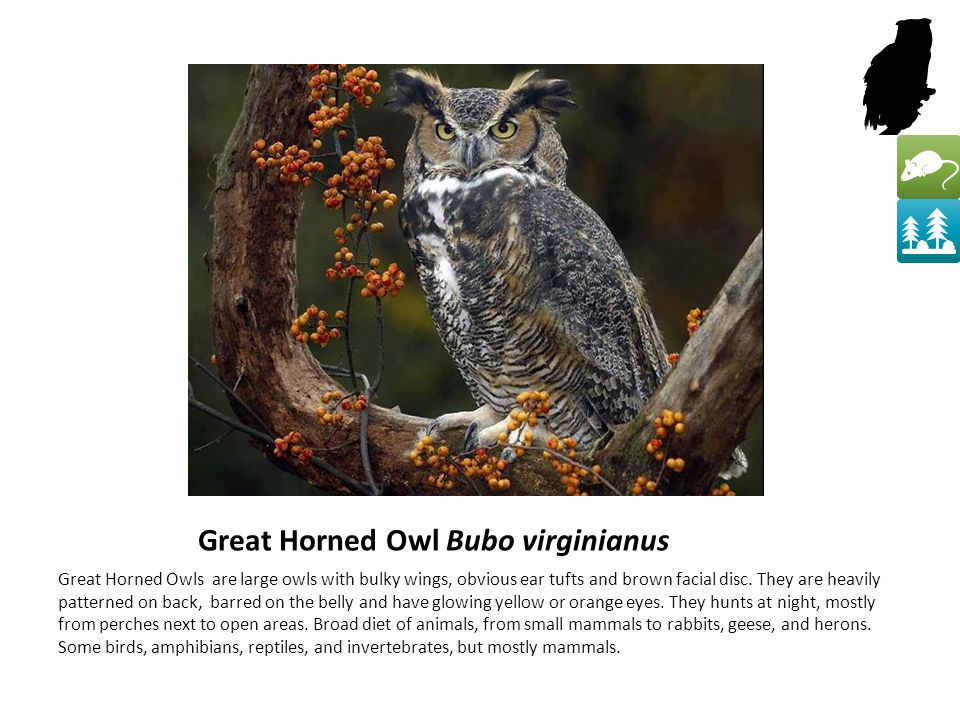 Great Horned Owl Bubo virginianus Great Horned Owls are large owls with bulky wings, obvious ear tufts and brown facial disc.