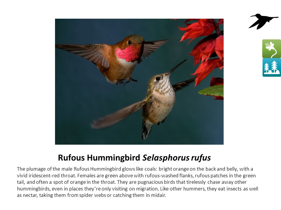 Rufous Hummingbird Selasphorus rufus The plumage of the male Rufous Hummingbird glows like coals: bright orange on the back and belly, with a vivid iridescent-red throat.