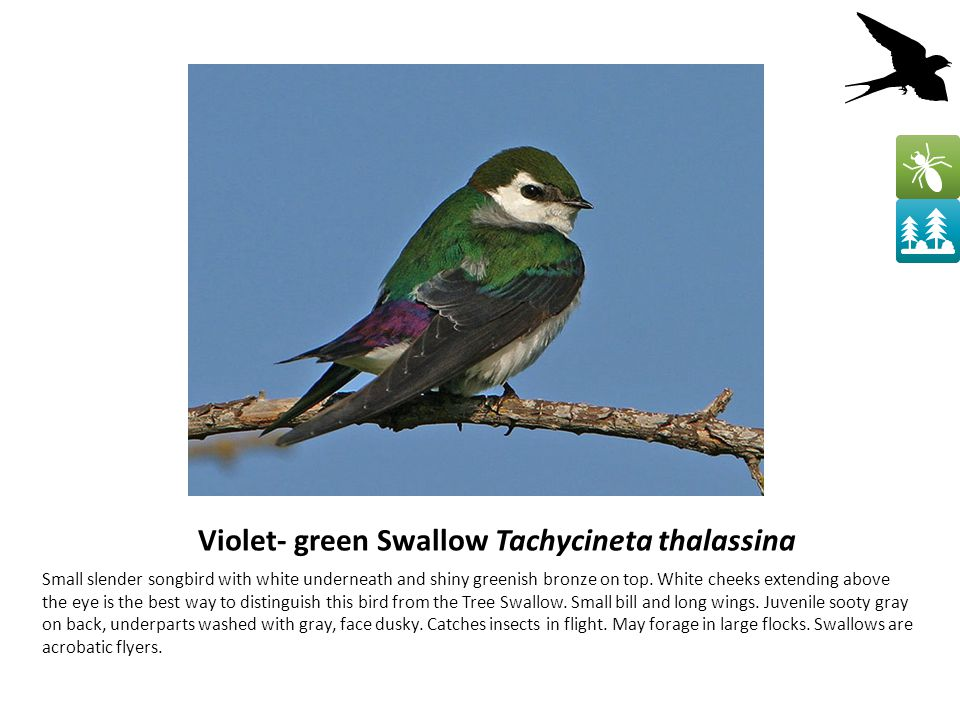 Violet- green Swallow Tachycineta thalassina Small slender songbird with white underneath and shiny greenish bronze on top.