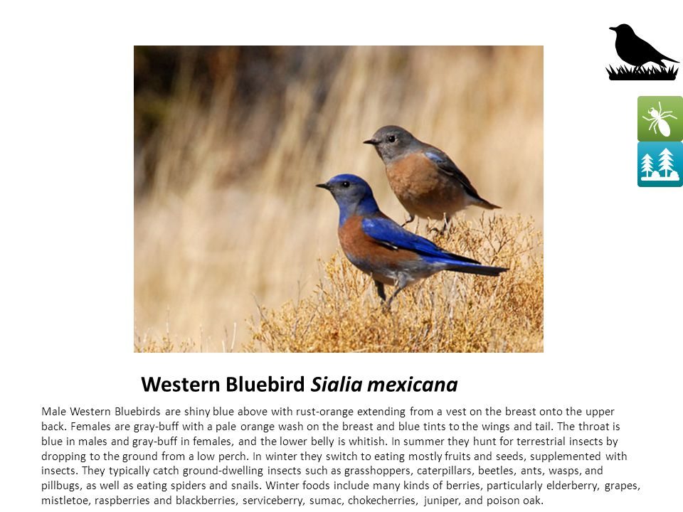 Western Bluebird Sialia mexicana Male Western Bluebirds are shiny blue above with rust-orange extending from a vest on the breast onto the upper back.
