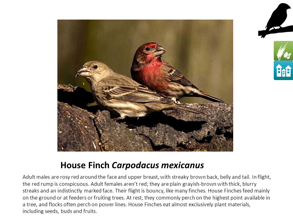 House Finch Carpodacus mexicanus Adult males are rosy red around the face and upper breast, with streaky brown back, belly and tail.