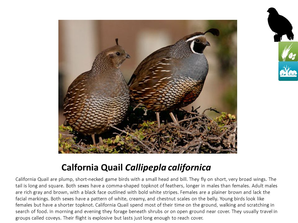 Calfornia Quail Callipepla californica California Quail are plump, short-necked game birds with a small head and bill.