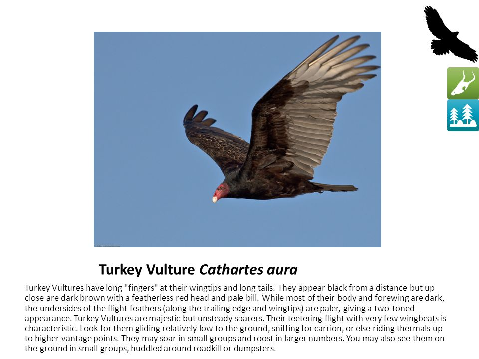 Turkey Vulture Cathartes aura Turkey Vultures have long fingers at their wingtips and long tails.