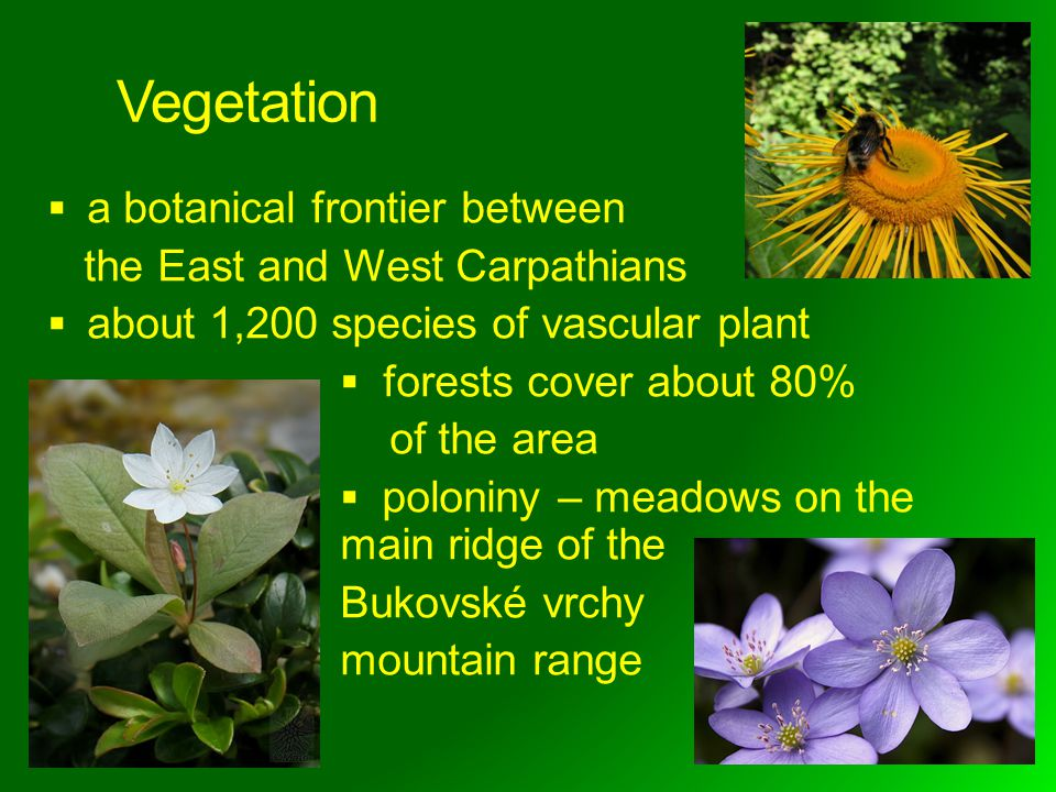 Vegetation a botanical frontier between the East and West Carpathians about 1,200 species of vascular plant forests cover about 80% of the area poloniny – meadows on the main ridge of the Bukovské vrchy mountain range