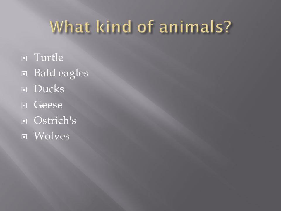 Turtle Bald eagles Ducks Geese Ostrich's Wolves