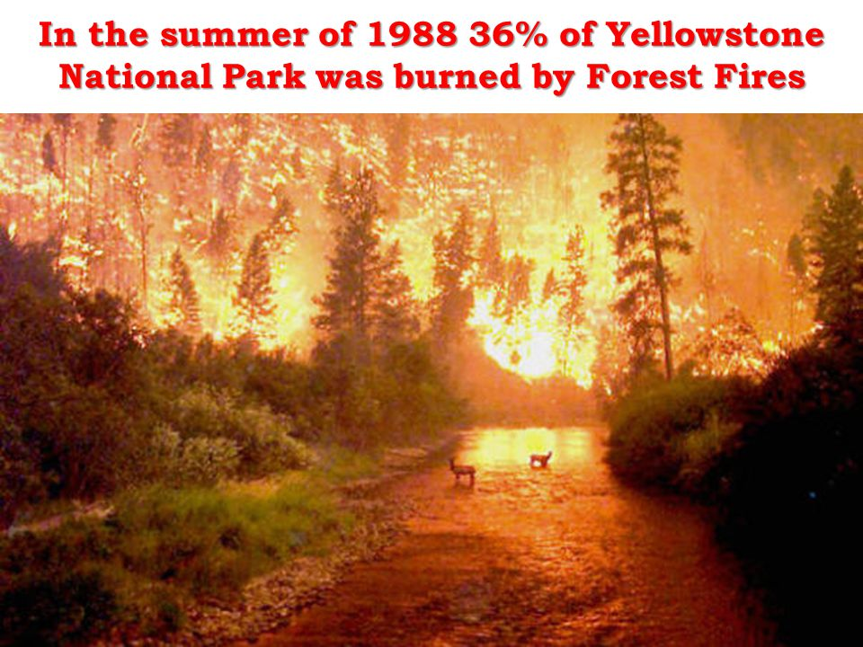 In the summer of 1988 36% of Yellowstone National Park was burned by Forest Fires