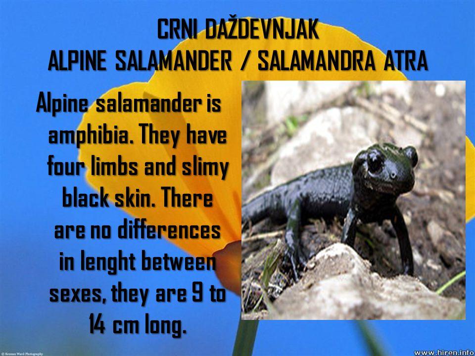 CRNI DAŽDEVNJAK ALPINE SALAMANDER / SALAMANDRA ATRA Alpine salamander is amphibia.