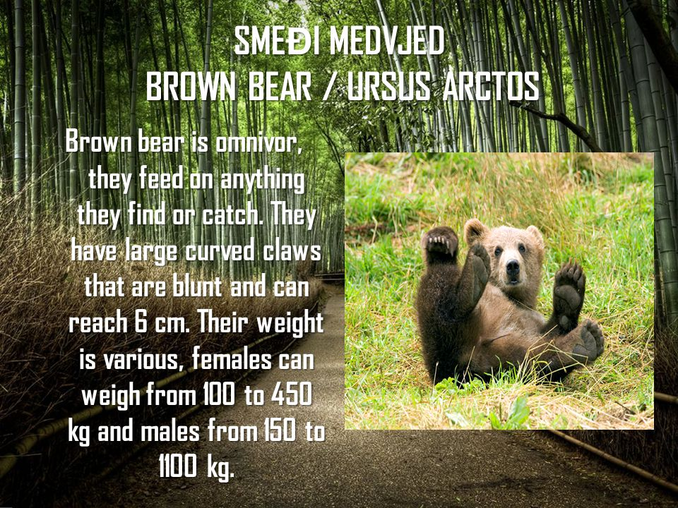 SME Đ I MEDVJED BROWN BEAR / URSUS ARCTOS Brown bear is omnivor, they feed on anything they find or catch.