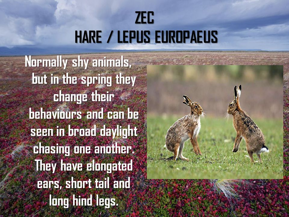 ZEC HARE / LEPUS EUROPAEUS Normally shy animals, but in the spring they change their behaviours and can be seen in broad daylight chasing one another.