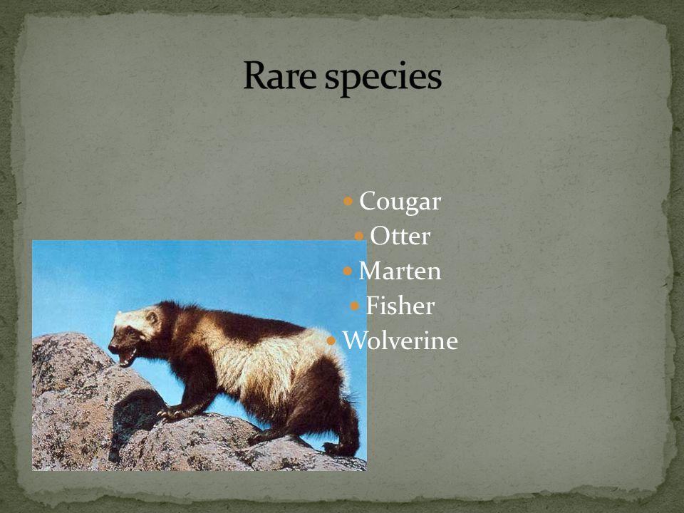 Cougar Otter Marten Fisher Wolverine