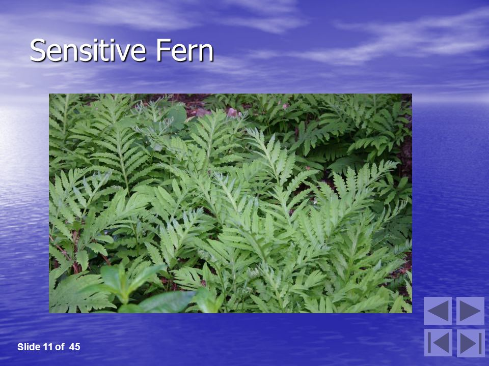 Sensitive Fern Slide 11 of 45