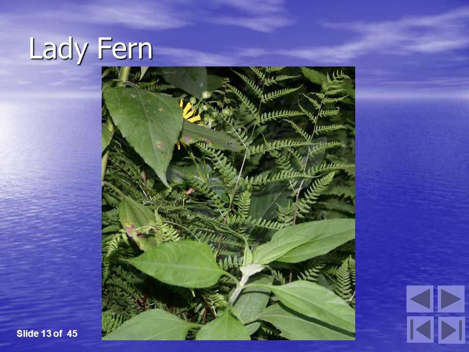 Lady Fern Slide 13 of 45