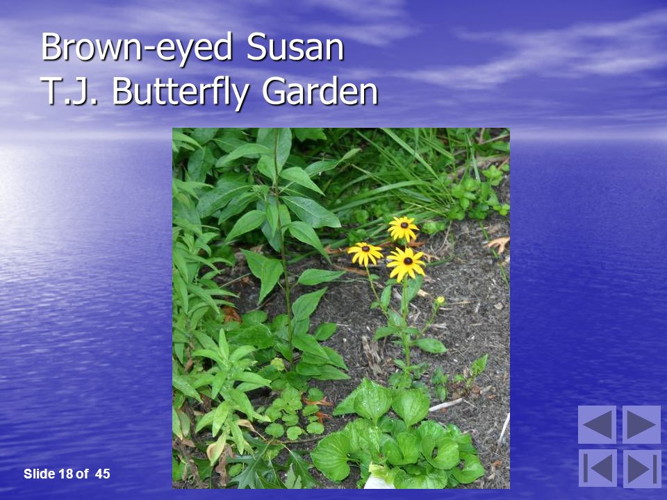 Brown-eyed Susan T.J. Butterfly Garden Slide 18 of 45