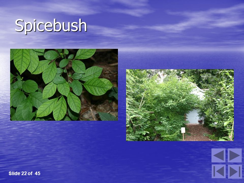 Spicebush Slide 22 of 45