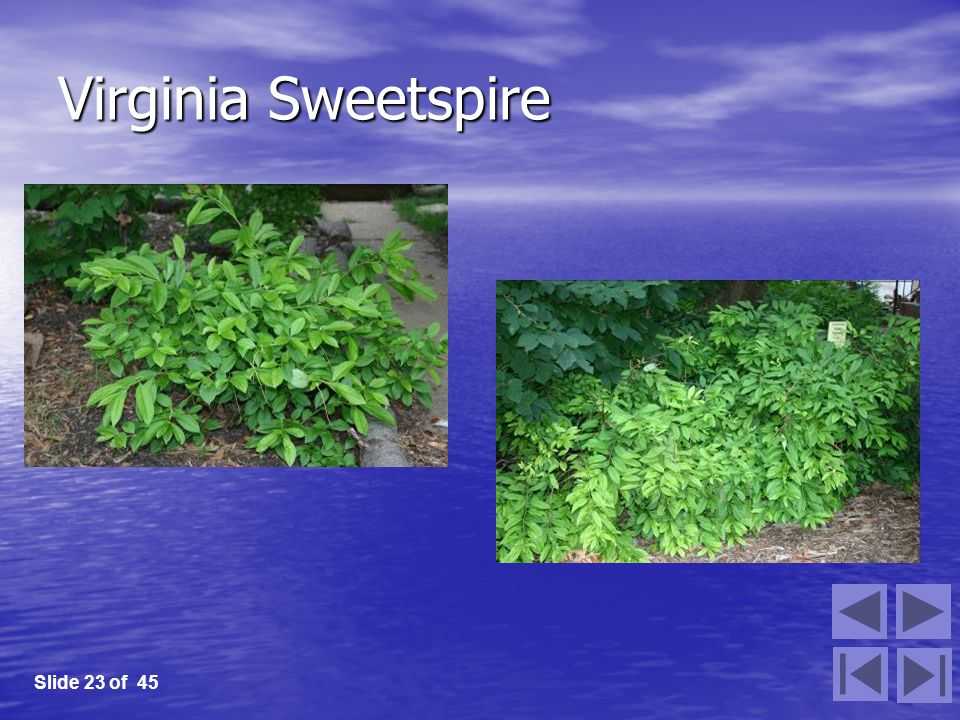Virginia Sweetspire Slide 23 of 45
