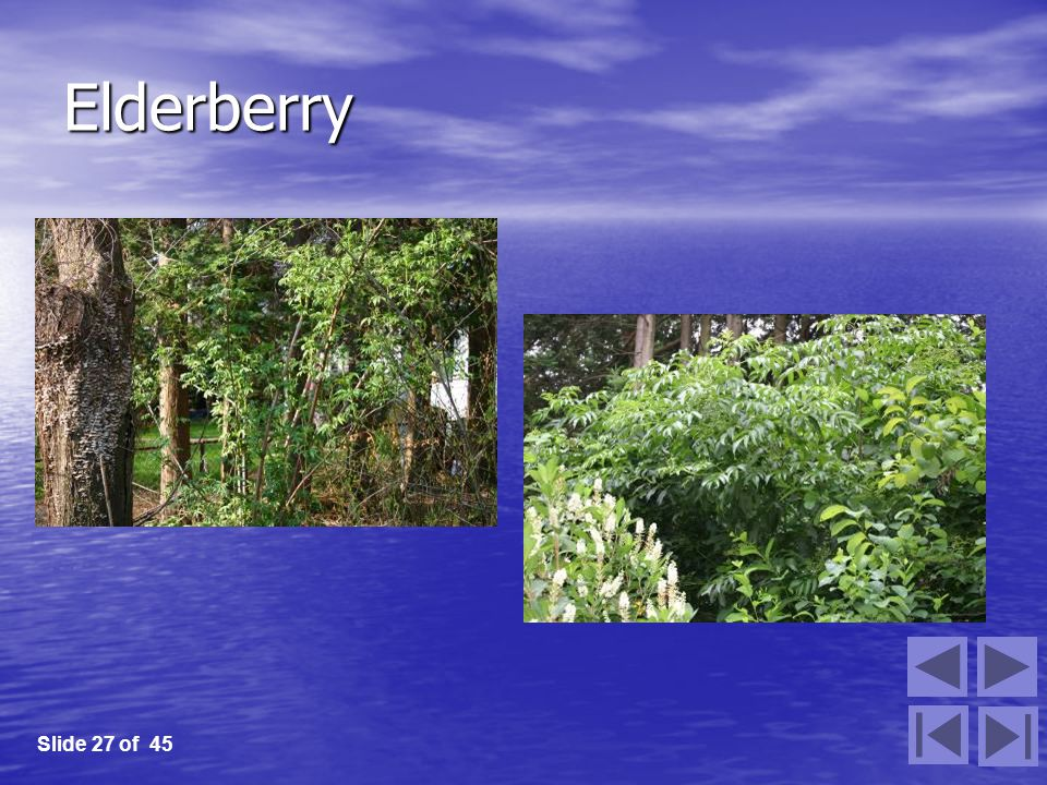 Elderberry Slide 27 of 45