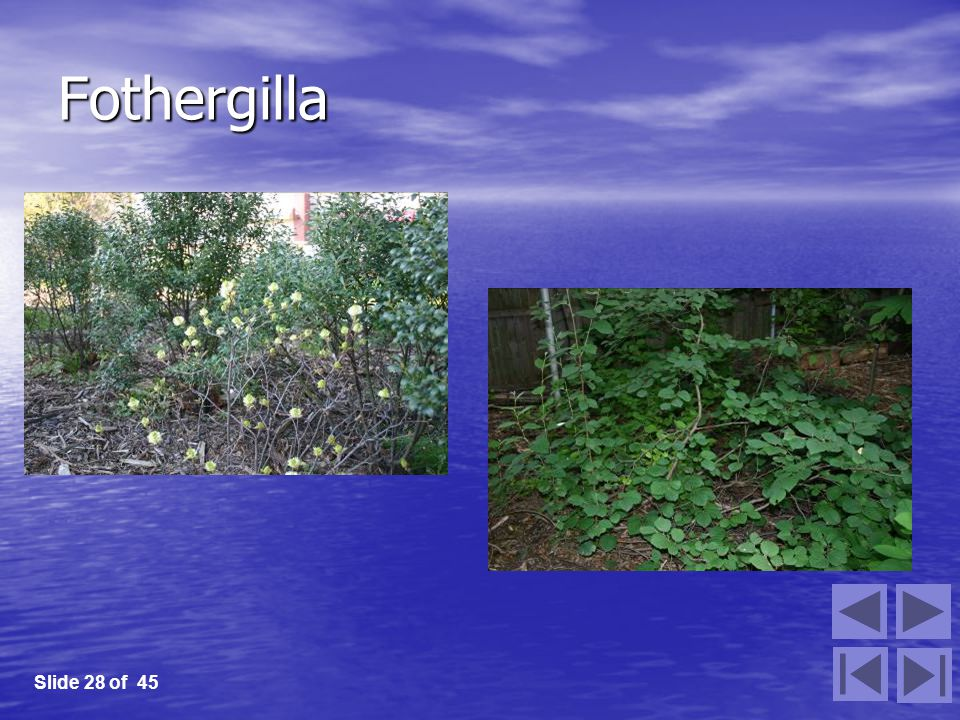 Fothergilla Slide 28 of 45