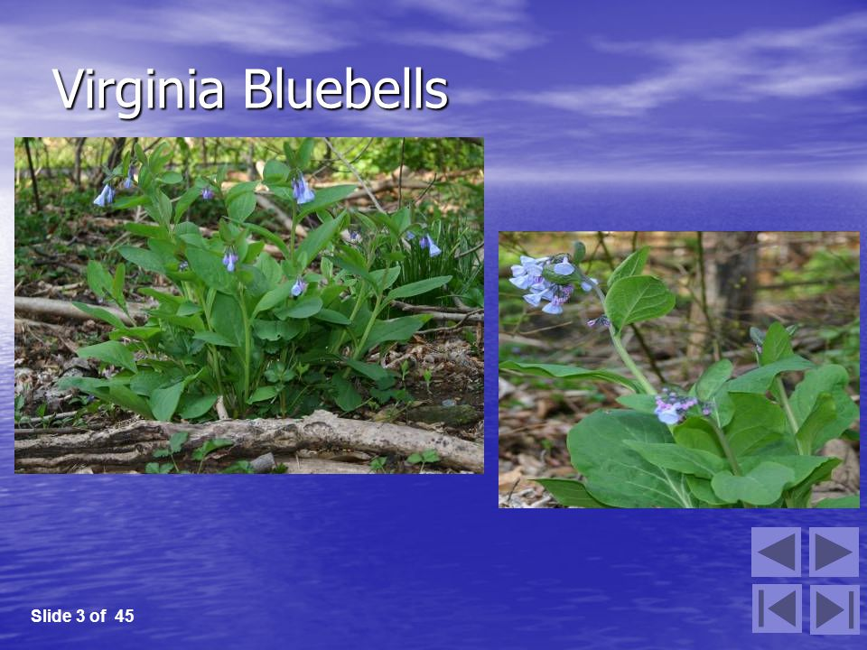 Virginia Bluebells Slide 3 of 45
