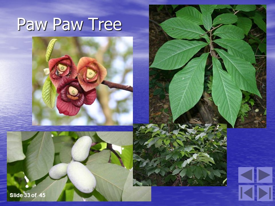 Paw Paw Tree Slide 33 of 45