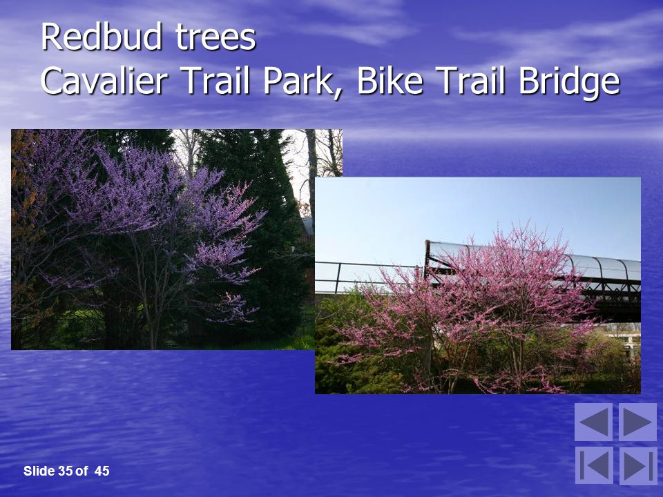 Redbud trees Cavalier Trail Park, Bike Trail Bridge Slide 35 of 45