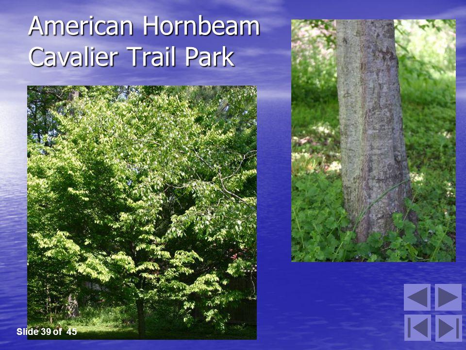 American Hornbeam Cavalier Trail Park Slide 39 of 45