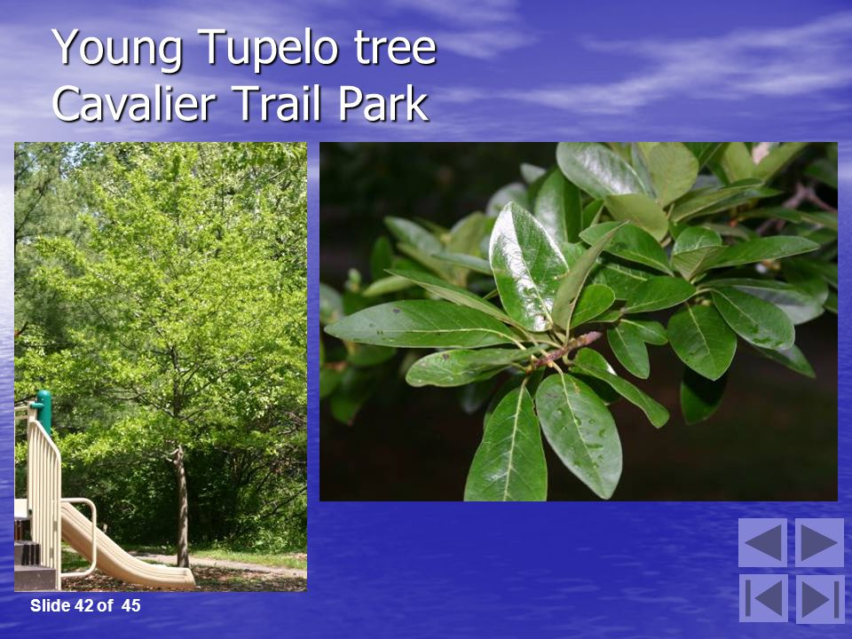 Young Tupelo tree Cavalier Trail Park Slide 42 of 45