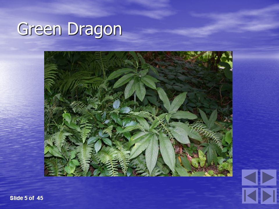 Green Dragon Slide 5 of 45