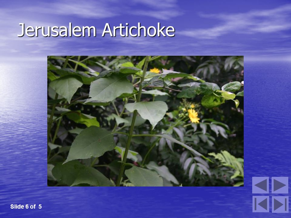 Jerusalem Artichoke Slide 6 of 5