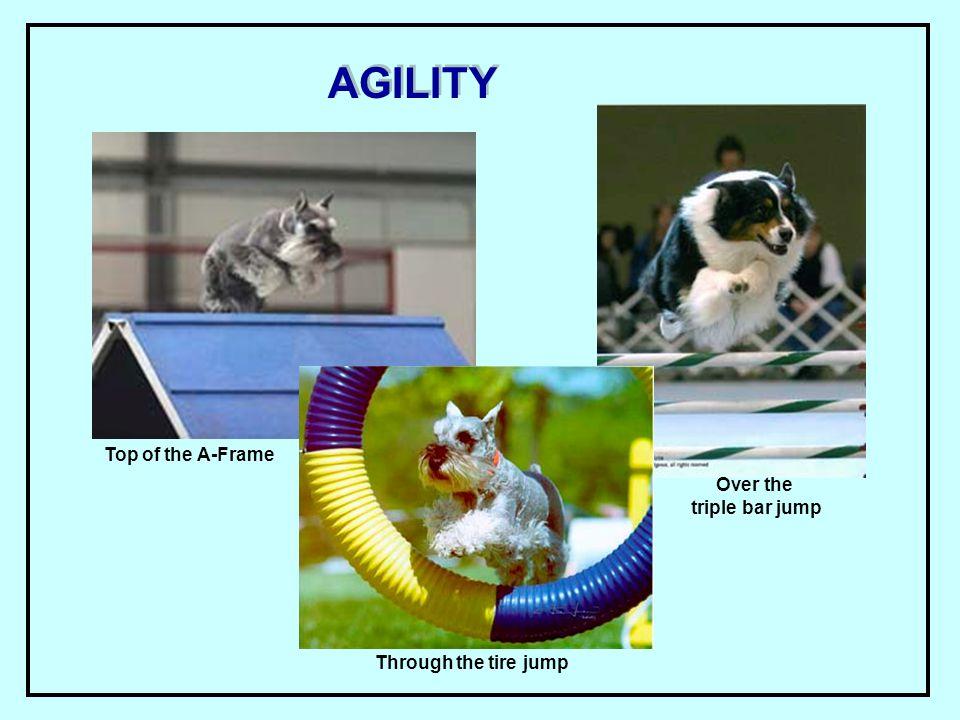 AGILITY Top of the A-Frame Through the tire jump Over the triple bar jump