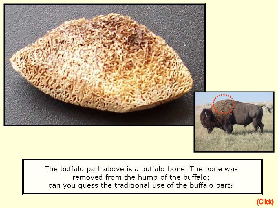 The buffalo part above is a buffalo bone. The bone was removed from the hump of the buffalo; can you guess the traditional use of the buffalo part?
