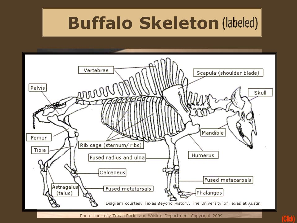 Buffalo Skeleton Photo courtesy Texas Parks and Wildlife Department Copyright 2009 Diagram courtesy Texas Beyond History, The University of Texas at A