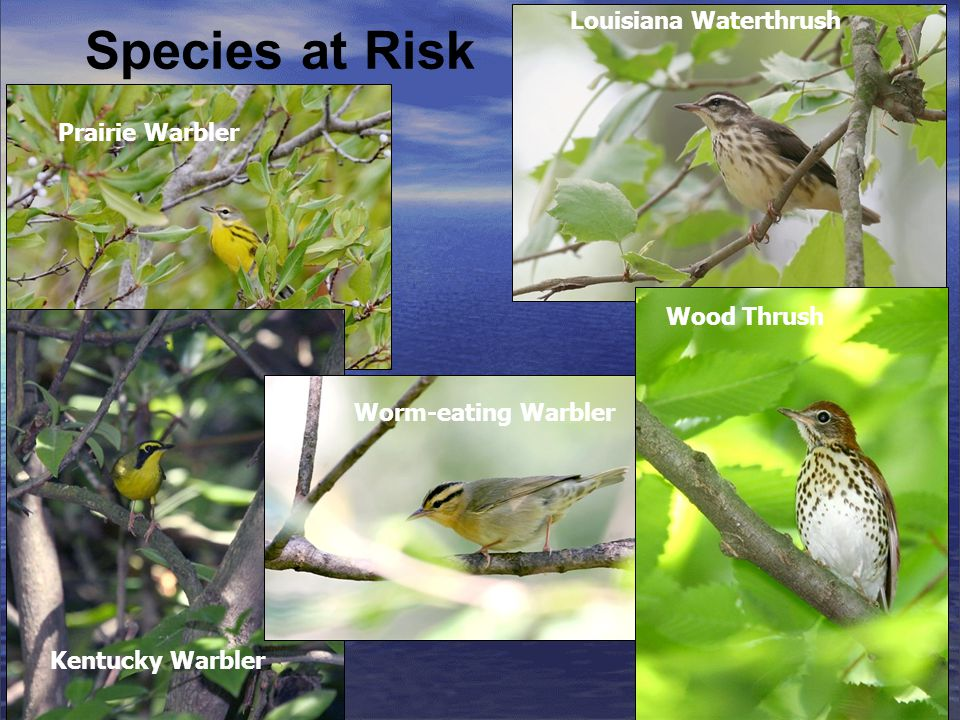 Species at Risk Prairie Warbler Louisiana Waterthrush Kentucky Warbler Wood Thrush Worm-eating Warbler