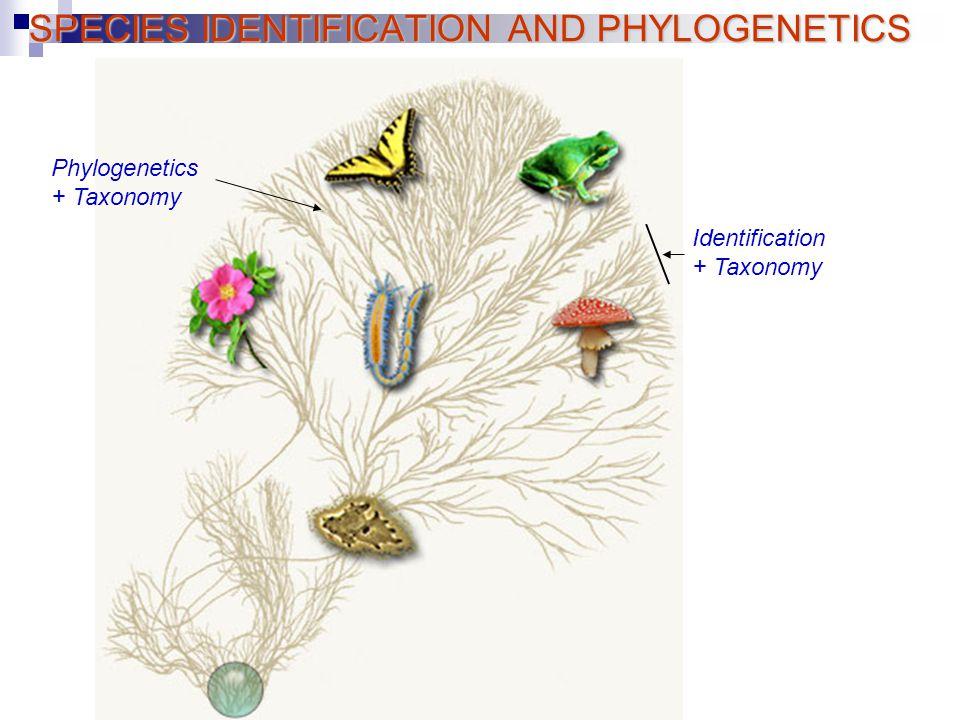 SPECIES IDENTIFICATION AND PHYLOGENETICS Identification + Taxonomy Phylogenetics + Taxonomy