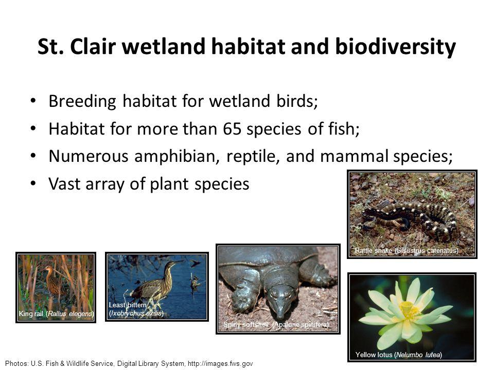 St. Clair wetland habitat and biodiversity Breeding habitat for wetland birds; Habitat for more than 65 species of fish; Numerous amphibian, reptile,